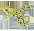 Grenouille verte adulte - peau 72