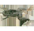 Grenouille xenope adulte - peau 71