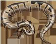 Python royal adulte - peau 5