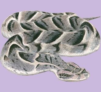Recueillir un reptile d'espèce vipère heurtante