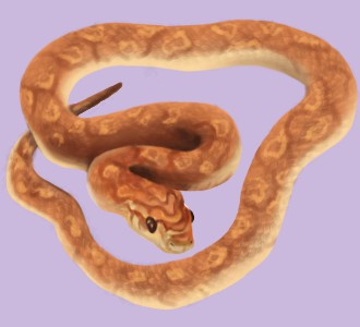 Serpent des blés ##STADE## - peau 36