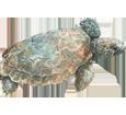 Tortue marine caouanne ##STADE## - peau 26