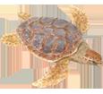 Tortue marine caouanne adulte - peau 26