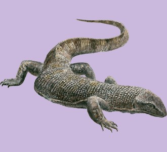 Recueillir un reptile d'espèce varan noir