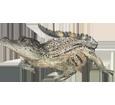 Crocodile ##STADE## - peau 66